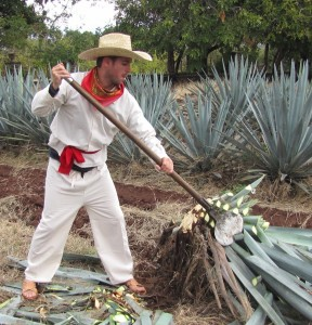 tequila harvester adventure travel job