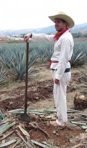 adventure travel job of harvesting agave