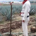 adventure travel job of harvesting agave