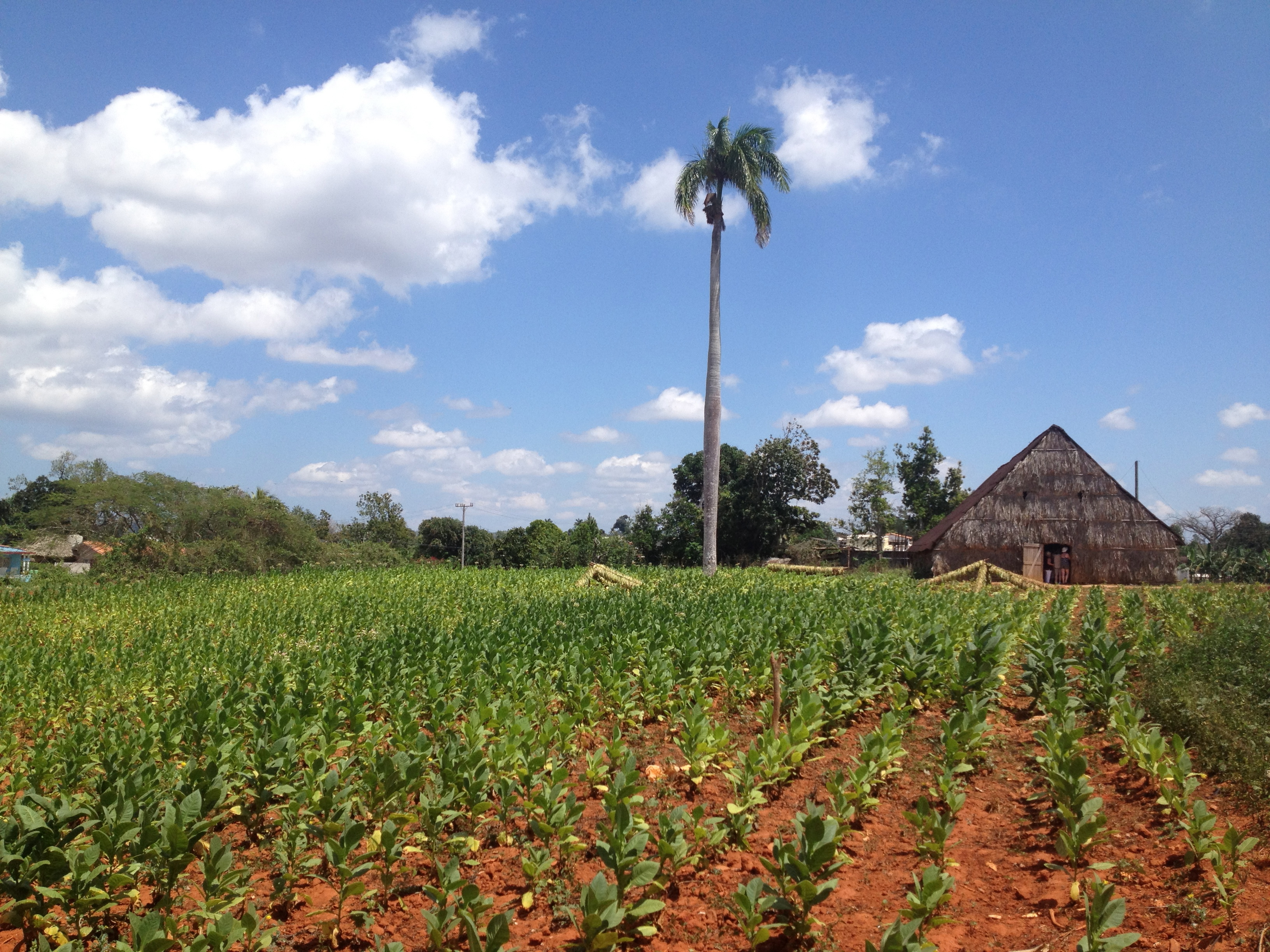 Cuban Tobacco Fields