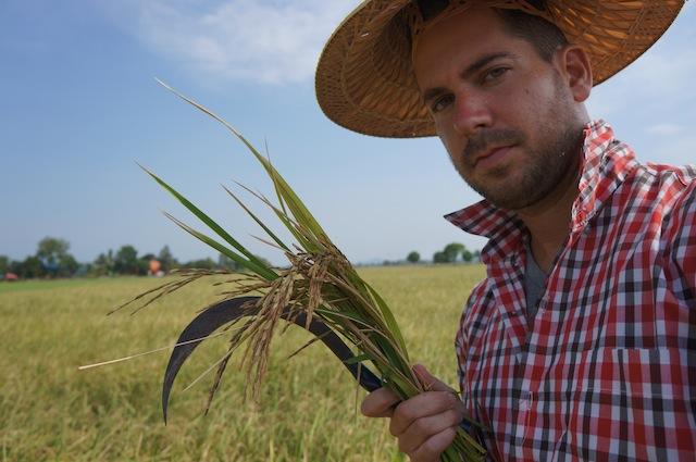 rice harvesting in thailand