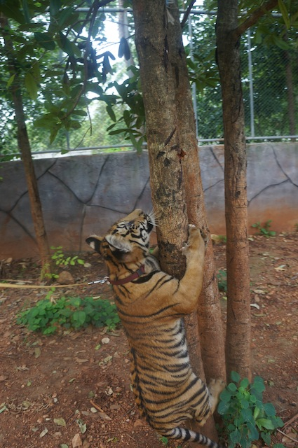 Walking a tiger gives a whole new meaning to the expression: Herding cats