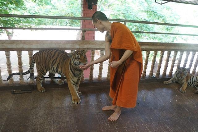 A monk feeds a tiger