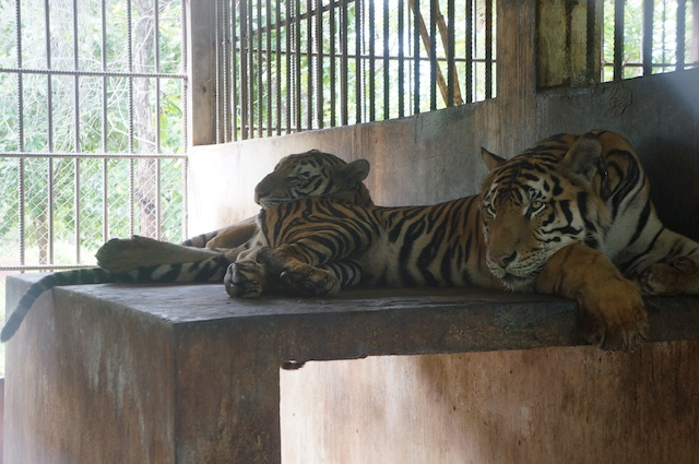 tigers resting in their cages on Tiger Island