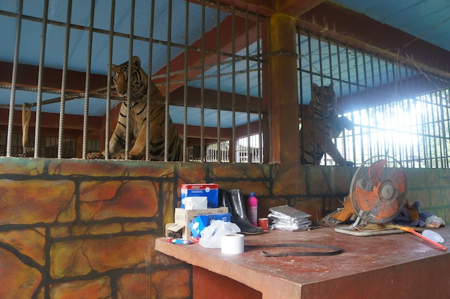 Tigers in cages eyeing with curiousity the cubs in the next cage over
