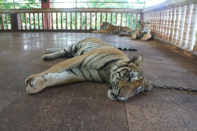 chained tigers tiger temple The Curious Case of Tiger Temple: A Month Long Volunteering Experiment