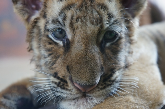 cute tiger baby Getting to Work at Tiger Temple: Welcome to Tiger Island