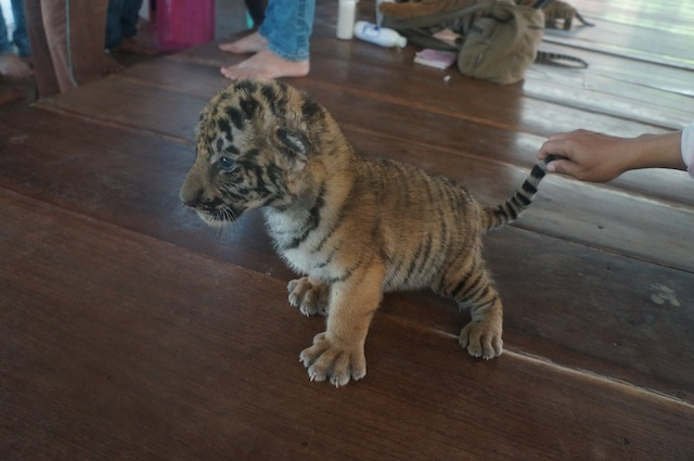 Tourists may play with tiger cubs