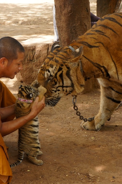 monk with baby tiger