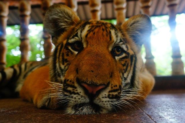 tiger temple controversy