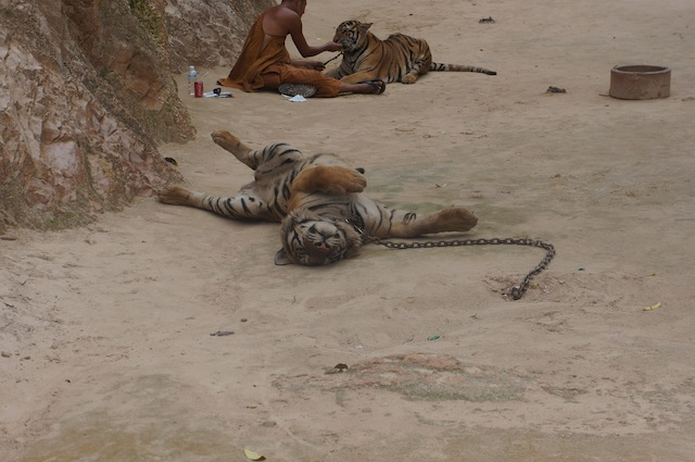 Tigers on display in the Canyon of Tiger Temple for tourist photos