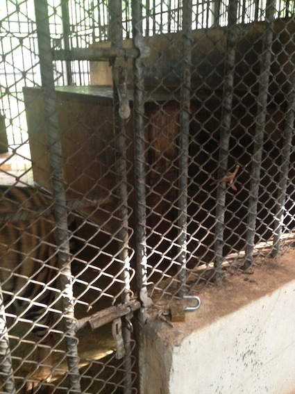 Tiger cage with an accidental forgetting of locking up.