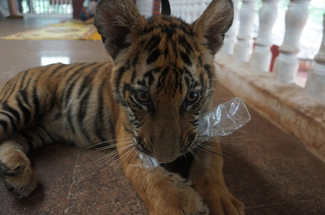 tiger cub chewing bottle Getting to Work at Tiger Temple: Welcome to Tiger Island