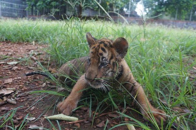 tiger cub The Curious Case of Tiger Temple: A Month Long Volunteering Experiment