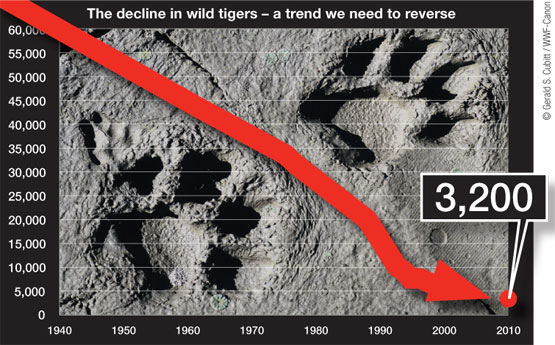 tiger decline The Curious Case of Tiger Temple: A Month Long Volunteering Experiment
