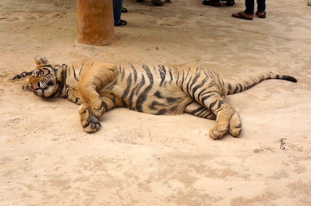 tiger temple drugged cat