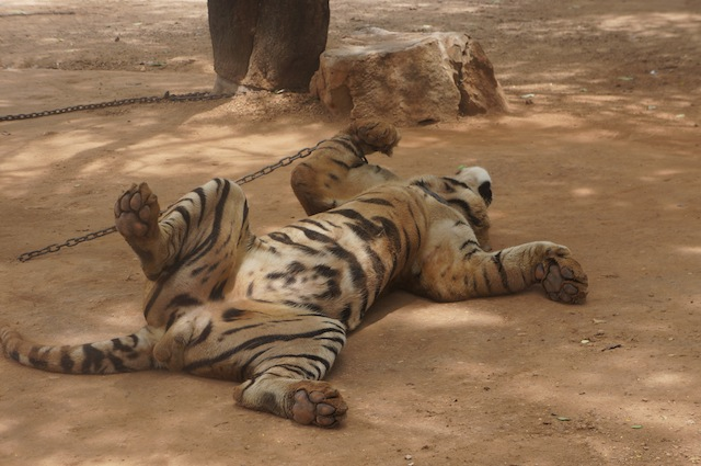 A tiger taking a cat nap