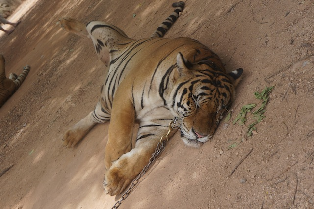 The first question every visitor to asks: Does Tiger Temple drug the tigers?