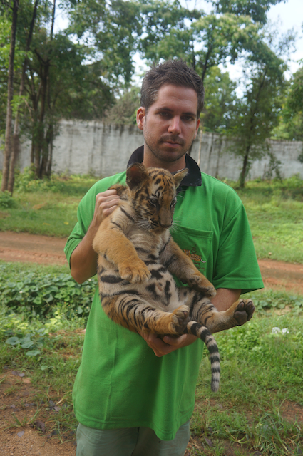 free volunteering at Tiger Temple in Thailand