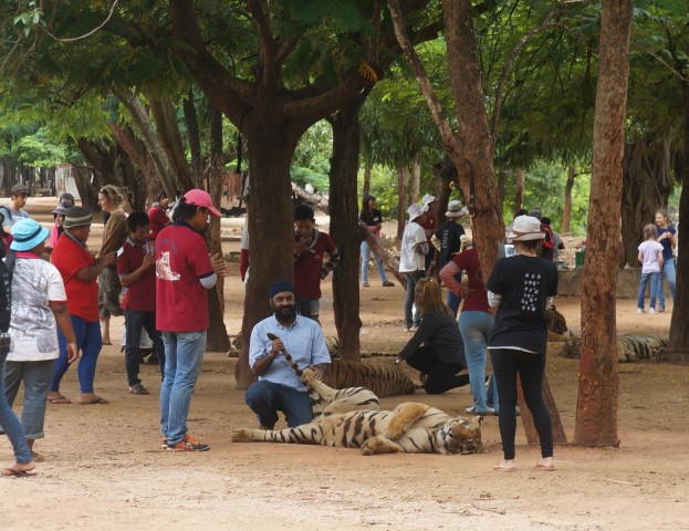 Tourist up close for Tiger photos