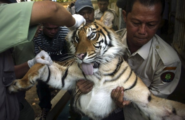 A tiger that is tranquilized has eyes that are wide open yet remains still.