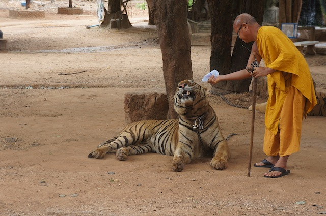 Tiger Temple's Abbot hydrates a tiger before it walks with tourists