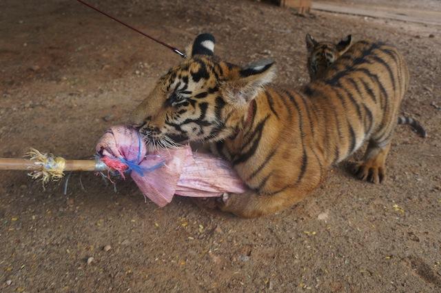 tiger cub playing