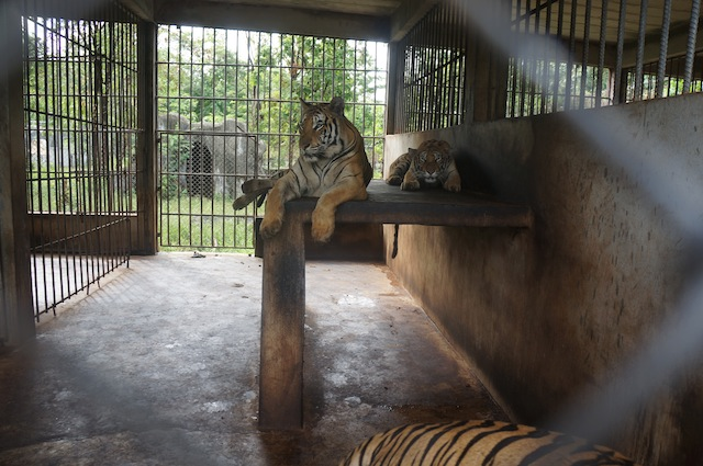 Sometimes there are as many as 5 or 6 tigers in a cage smaller than this one. No bueno.