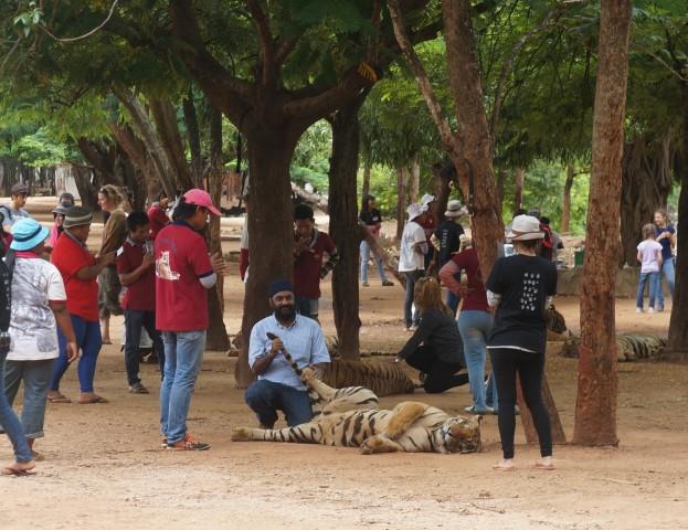 Tourist up close for Tiger photos