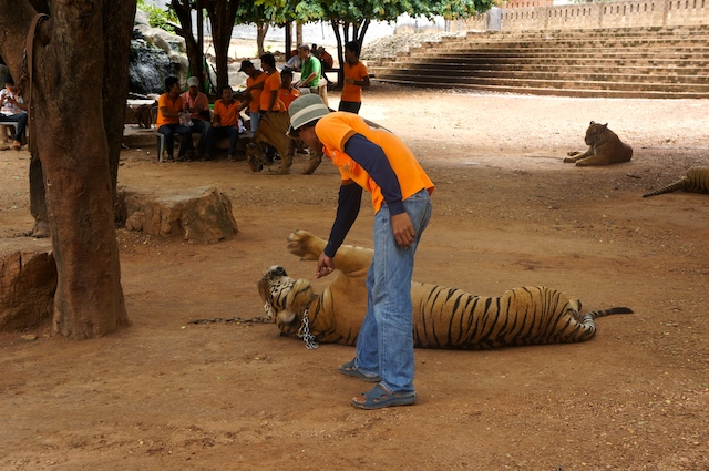 tiger temple abuse