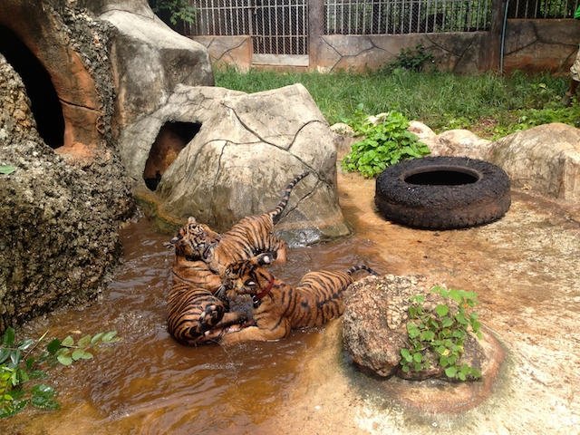 The outdoor areas have water areas that change, so this is a positive for tigers' well being