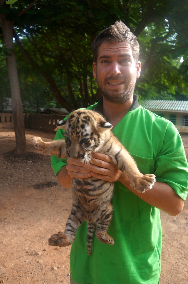 My most dreaded job of the day: taking tigers to and from the sala for the tourists