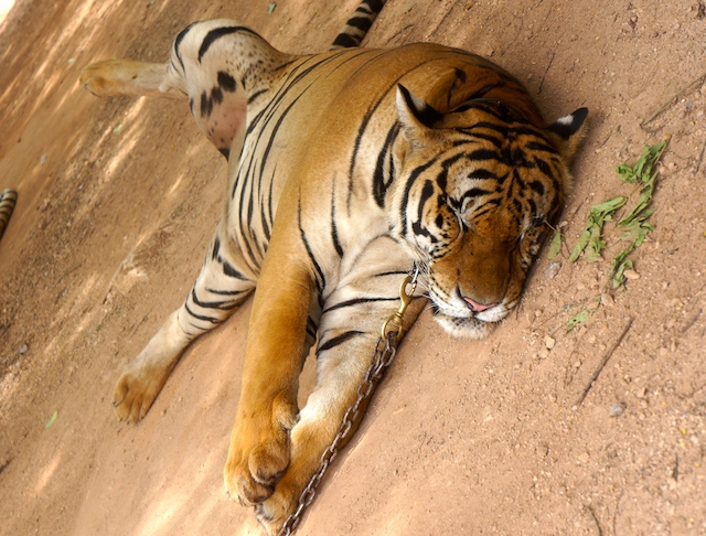 Are the tigers abused? Or just doing the normal sleeping thing?