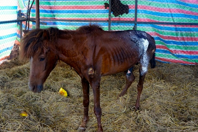 Horse being treated but looks to be in pretty bad shape.