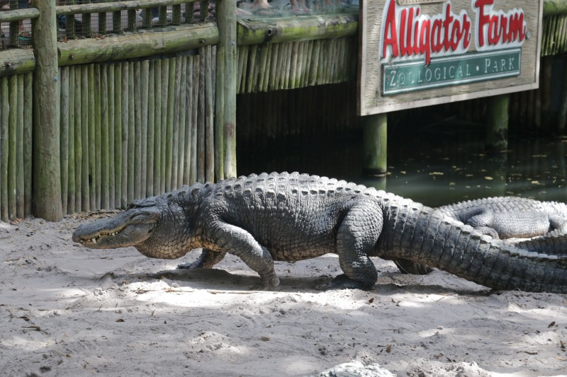 A real gator on the prowl