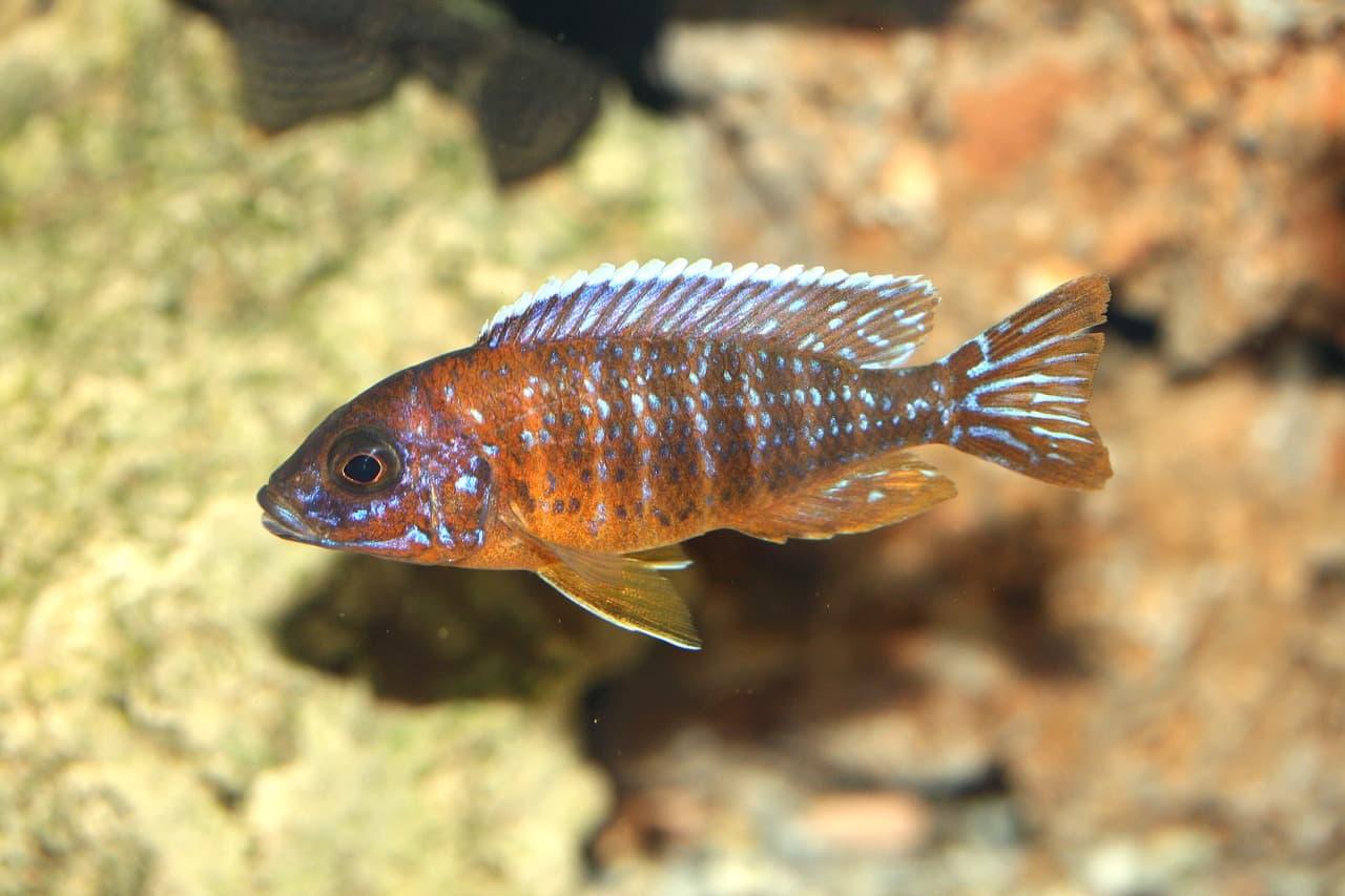 fish in malawi